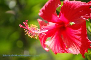 Hibiscus by bookworm0608