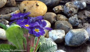 Primula and Pebbles by printsILike