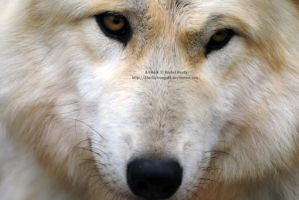 Cheyenne Up Close by 8TwilightAngel8