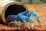 Blue Florida Lobster-Picture 2 by Flashback981