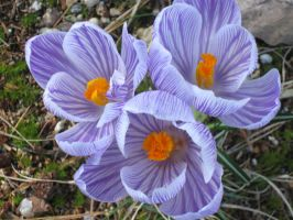 crocuses. by crazygardener