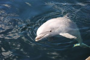 Dolphin by Horselover60-Stock