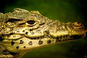 Houston Zoo - Crocodile by BPHaines