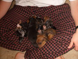 Sleeping Dachshund Puppies by tibbarguy