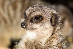 meercat by dog123456