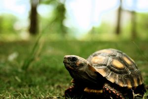 Sheegua the Redfoot tortoise by Tenodera