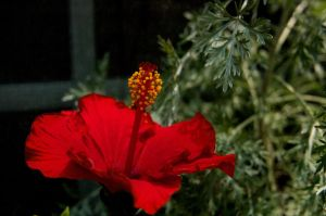 Red Hibiscus by MaxHedrm0