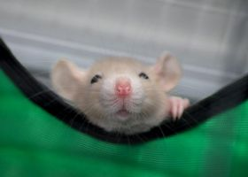 Baby rat hiding in hammock 2 by stphq