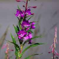 Fireweed by perost