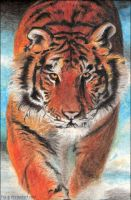 Siberian tiger 05 by Fco-G