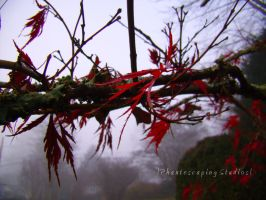 Japanese Maple in Mist by phantescaping