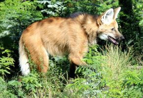 Maned Wolf by cindy1701d