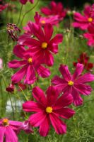 late summer cosmos by George---Kirk