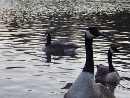 Geese in Central Park by Pyroraptor42