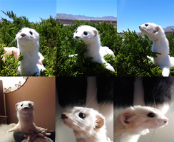 Ermine posable soft mount - For Sale by MilkyFoxWhiskers