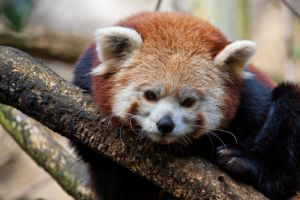 3289 - Red Panda by Jay-Co