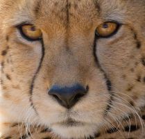Cheetah close up by hotwiar