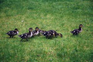 DUCKLINGS by Angel-Platypus-Photo
