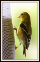 Female Wild Canary by PamplemousseCeil
