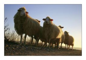 Sheeps are on the road by danypope