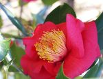 Red Camellia by eskimoblueboy