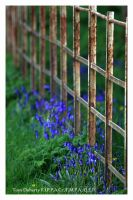 Bluebells by PicTd
