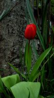 Red Tulip by McDonkm