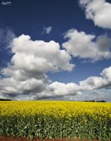 Canola Field by MediaDesign