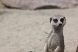 What A Great Day To Be A Meerkat by iatethedarknessflame