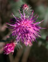 Pretty Prickly Thistle by steppeland