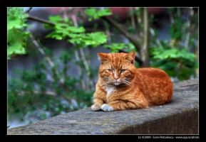 Orange Cat by sypfoto