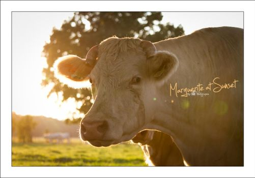 Marguerite at Sunset by sG-Photographie