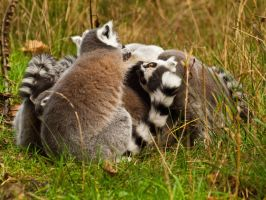 Ring Tailed Lemur 01 - Dec 11 by mszafran