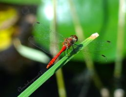 The red dragonfly of courage by Cloudwhisperer67