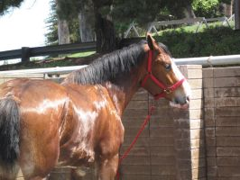 Clydesdale -3 by rachellafranchistock