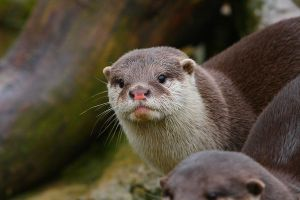 Otter Stock1 by NickiStock
