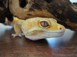 Leopard Gecko by ColdBlooded87