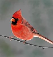 Northern Cardinal - Grey by MissMondayMorning