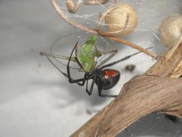 Redback Spider 2 With Prey by UltimateDoomer