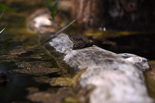 Frog by Angryneti