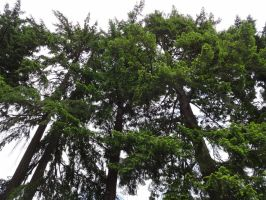 Evergreen Trees by SquishyPandaPower