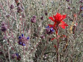 Gray Ball Sage And Indian Paintbrush by ClymberPaddler