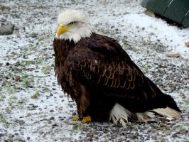 Stock 272: american bald eagle by AlzirrSwanheartStock