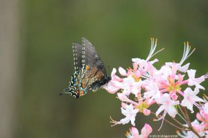 Swallowtail on Honeysuckle by Rjet33