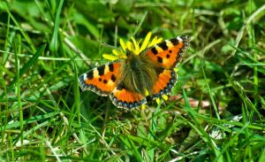 small tortoiseshell butterfly by svendo