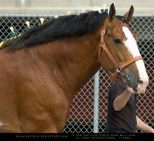 Clydesdale 9 by SalsolaStock