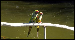 Arizona 2011 - Parrots B by DarlingMionette