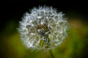 Dandelion by Phatestroke