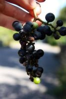 Wild Grapes by Culmine