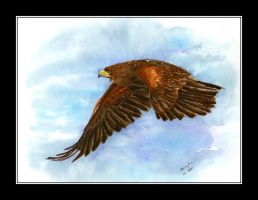 Harris Hawk by czajka